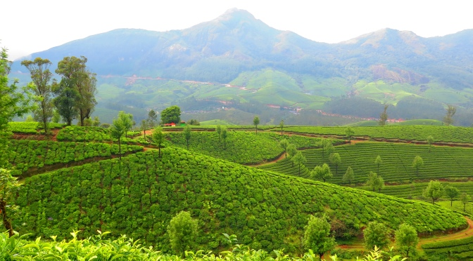 Western Ghats, The Journey of Tea, And Not-So-Reclusive Goats